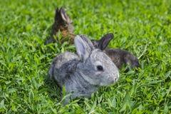 Piccolo coniglio grigio sul prato inglese verde Fotografie Stock