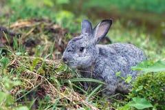 Piccolo coniglio grigio sveglio su erba verde Immagine Stock