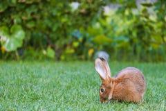 Piccolo coniglio marrone calmo e dolce che si siede sull'erba verde Immagine Stock Libera da Diritti