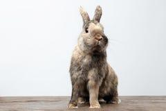 Piccolo coniglio sveglio, pelliccia di Brown che si siede sul legno, fondo bianco fotografia stock