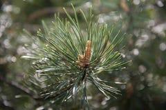 Piccolo cono del pino immagini stock
