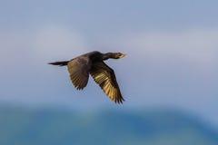 Piccolo cormorano, cormorano di Giava fotografia stock