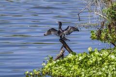 Piccolo cormorano nel santuario di Thabbowa in Puttalam, Sri Lanka Fotografia Stock Libera da Diritti
