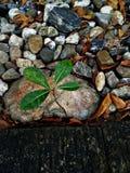 Piccolo crescere verde fresco dell'albero isolato sul pavimento della ghiaia fotografia stock