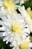 Piccolo crisantemo bianco e giallo. Fotografie Stock