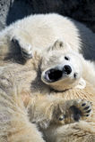 Piccolo cub dell'orso polare che ha un resto Fotografie Stock