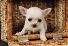 Piccolo cucciolo bianco della chihuahua che si siede al carretto fotografia stock libera da diritti