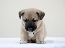 Piccolo cucciolo che si domanda la macchina fotografica Immagini Stock