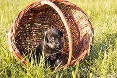 Piccolo cucciolo che si siede nel canestro, colpo all'aperto Fotografia Stock