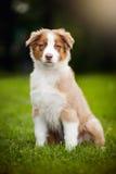 Piccolo cucciolo che si siede sull'erba Fotografia Stock