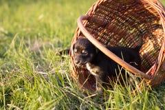 Piccolo cucciolo che sta nel canestro, colpo all'aperto Fotografia Stock Libera da Diritti