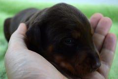 Piccolo cucciolo del doberman che mette sulle sue armi immagine stock