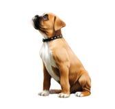 Piccolo cucciolo del pugile. Immagini Stock