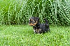 Piccolo cucciolo dell'Yorkshire terrier divertendosi sull'erba fotografia stock libera da diritti
