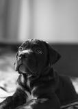 Piccolo cucciolo della razza di Cane Corso Immagini Stock