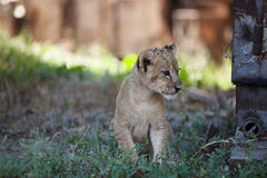 Piccolo cucciolo di leone all'aperto Fotografia Stock