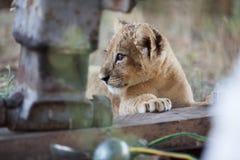 Piccolo cucciolo di leone all'aperto Immagine Stock Libera da Diritti