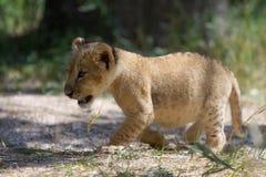 Piccolo cucciolo di leone che cammina all'aperto Immagini Stock