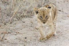 Piccolo cucciolo di leone che cammina lungo la strada non asfaltata con erba Fotografia Stock