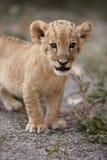 Piccolo cucciolo di leone che guarda nella macchina fotografica Fotografie Stock