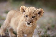 Piccolo cucciolo di leone che guarda nella macchina fotografica Immagini Stock