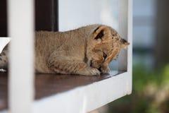 Piccolo cucciolo di leone che lava le sue zampe Fotografie Stock