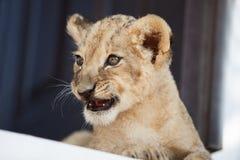 Piccolo cucciolo di leone che mostra i suoi denti Immagini Stock Libere da Diritti