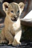 Piccolo cucciolo di leone che si siede all'aperto Immagini Stock Libere da Diritti