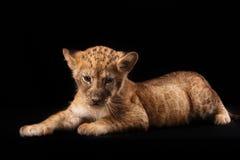 Piccolo cucciolo di leone su fondo nero Immagini Stock Libere da Diritti