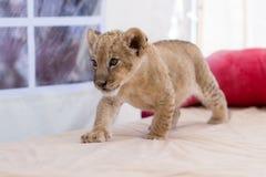 Piccolo cucciolo di leone sveglio Immagini Stock Libere da Diritti