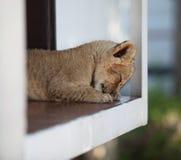 Piccolo cucciolo di leone sveglio che dorme all'aperto Fotografia Stock Libera da Diritti