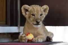 Piccolo cucciolo di leone sveglio che gioca con una palla Fotografia Stock Libera da Diritti
