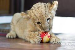 Piccolo cucciolo di leone sveglio che morde una palla Fotografie Stock Libere da Diritti
