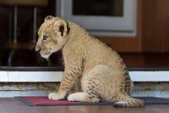 Piccolo cucciolo di leone sveglio che si siede alla porta Immagine Stock