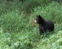 Piccolo cucciolo di orso Immagine Stock
