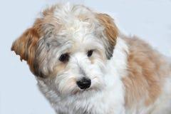 Piccolo cucciolo havanese osserva ansiosamente gli sguardi i suoi dintorni fotografia stock