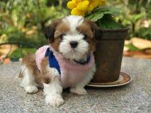 Piccolo cucciolo marrone e bianco di Shihtzu di colore nella seduta rosa della camicia Fotografie Stock Libere da Diritti