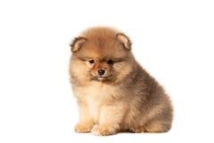 Piccolo cucciolo su un fondo bianco Fotografia Stock