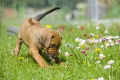 Piccolo cucciolo sveglio che gioca con i fiori Immagine Stock Libera da Diritti