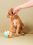 Piccolo cucciolo sveglio che morde in mano umana Immagine Stock Libera da Diritti