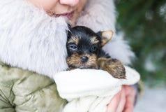 Piccolo cucciolo sveglio di Yorkshire in mani del ` s della donna fotografie stock libere da diritti