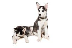 Piccolo cucciolo sveglio due del cane del husky siberiano con gli occhi azzurri isolati Fotografie Stock