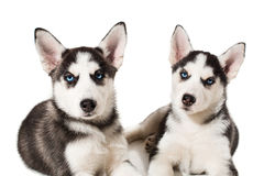 Piccolo cucciolo sveglio due del cane del husky siberiano con gli occhi azzurri isolati Immagini Stock