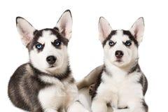 Piccolo cucciolo sveglio due del cane del husky siberiano con gli occhi azzurri isolati Fotografia Stock