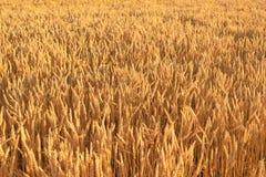 Piccolo diagramma con grano maturo maturo Fotografia Stock