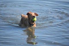 Piccolo Duck Dog rosso con una pallina da tennis nella sua bocca Fotografia Stock Libera da Diritti