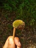 Piccolo durian Fotografie Stock