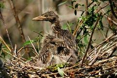 Piccolo egret Fotografie Stock