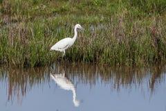 Piccolo Egret Fotografia Stock Libera da Diritti