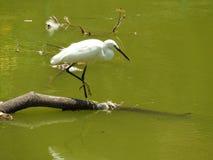 Piccolo Egret Immagine Stock Libera da Diritti